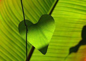 grünes Blattherz