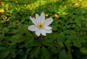 weise Blume