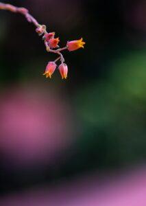steinlotus